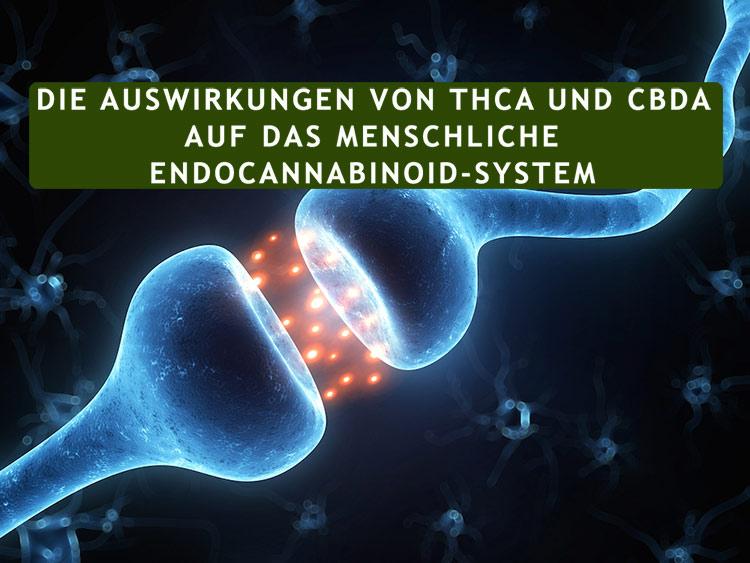 Die Auswirkungen von THCA und CBDA auf das menschliche Endocannabinoid-System