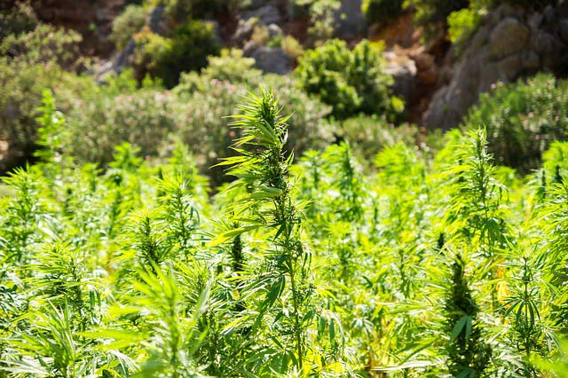 Cannabis Terpene